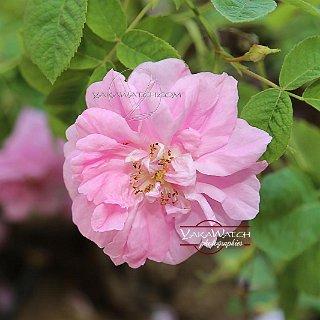 Dans les champs de Chanel aux Tuileries la rose de mai
