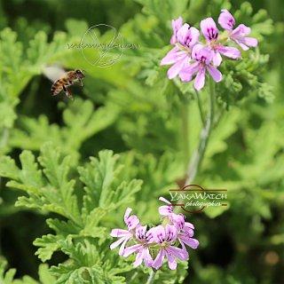 Dans les champs de Chanel abeille