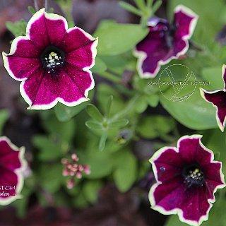 Le jardin aux abeilles - Fleurs à nectar
