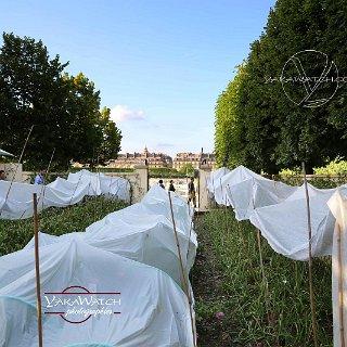Les champs de fleurs à parfum Chanel aux Tuileries