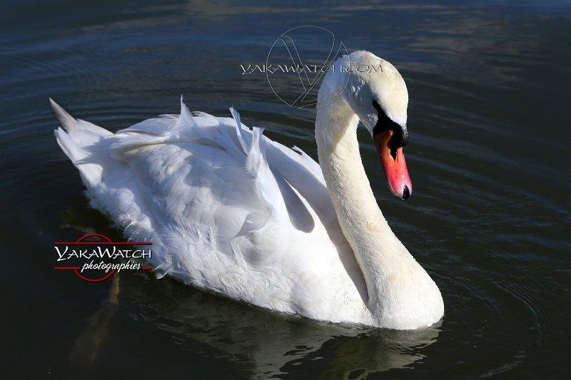 Photo, photographie animalière - Oiseau - Cygne