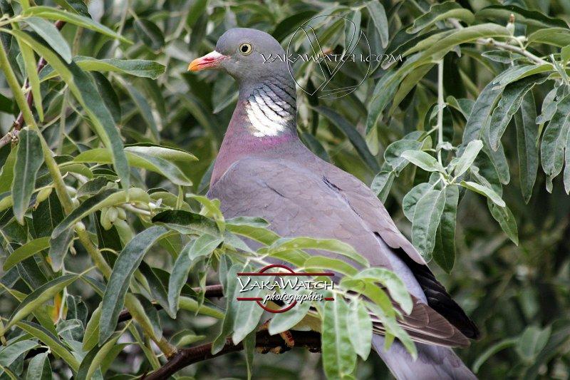 Photo, photographe oiseaux - Pigeon ramier