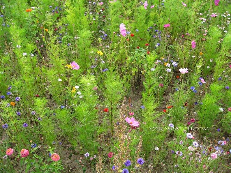 La phytoremédiation dépollution par les plantes