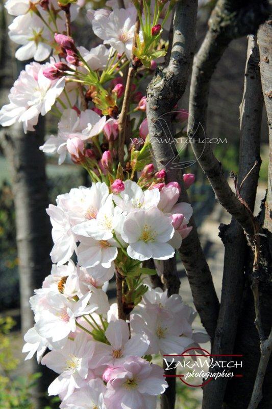 Cerisier en fleur - Photo Yakawatch