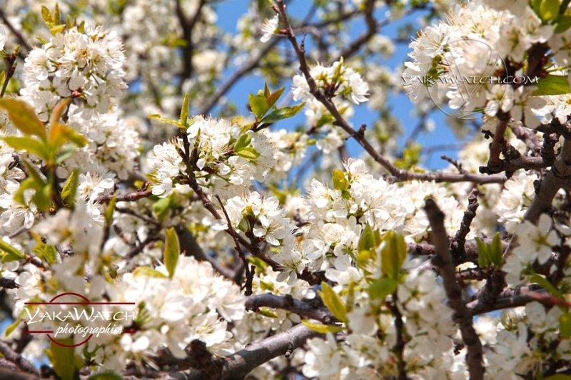 Cerisier en fleurs du Japon à Paris